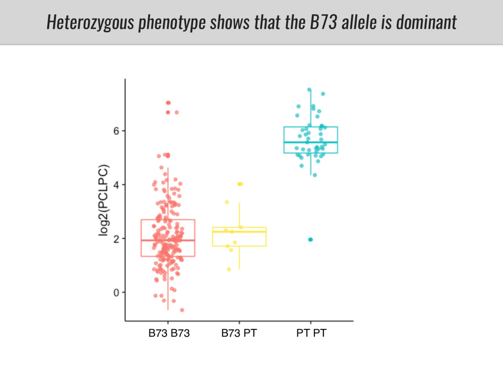 Heterozygous phenotype shows that the B73 allel...