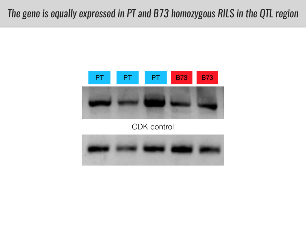 The gene is equally expressed in PT and B73 hom...