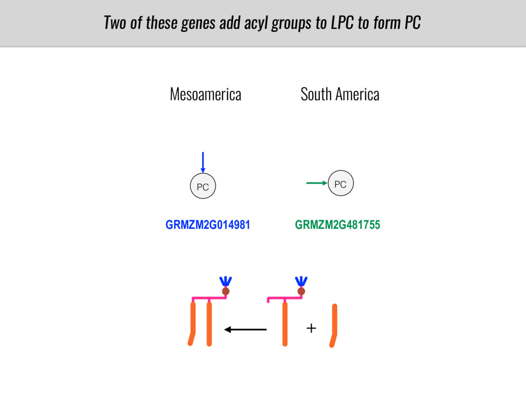Two of these genes add acyl groups to LPC to fo...