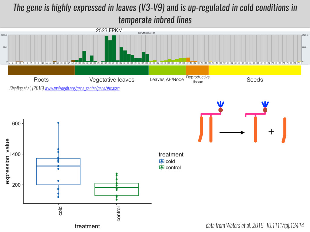 The gene is highly expressed in leaves (V3-V9) ...
