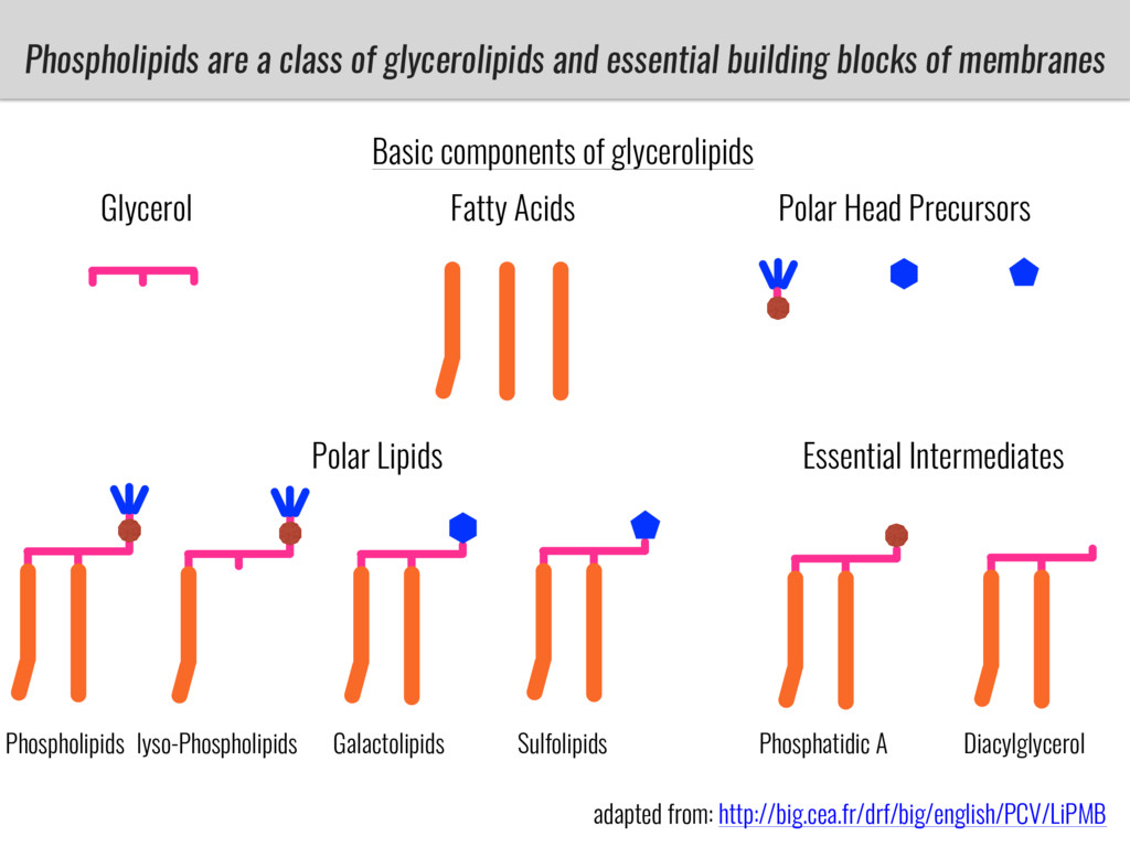 Phospholipids are a class of glycerolipids and ...