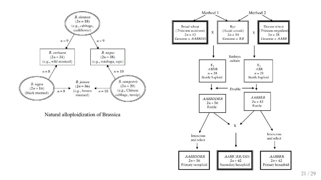 Natural alloploidization of Brassica 21 / 29