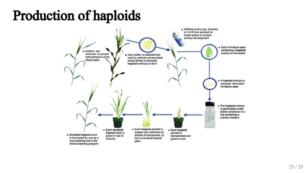 Production of haploids 23 / 29