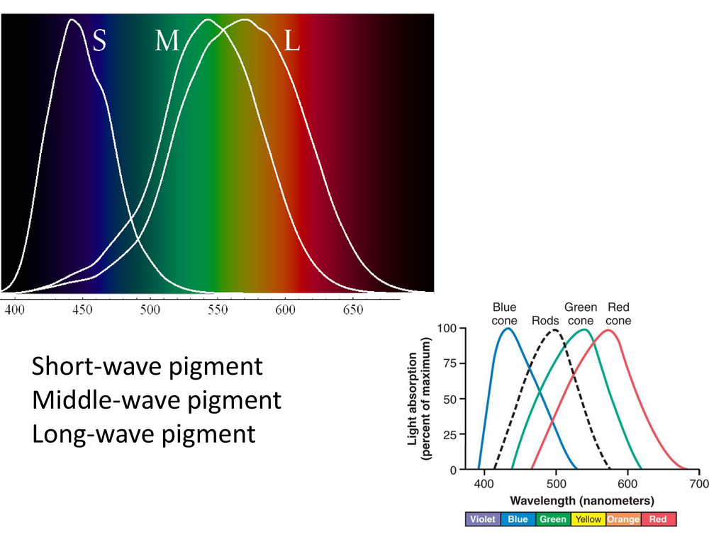 Short-wave pigment Middle-wave pigment Long-wav...