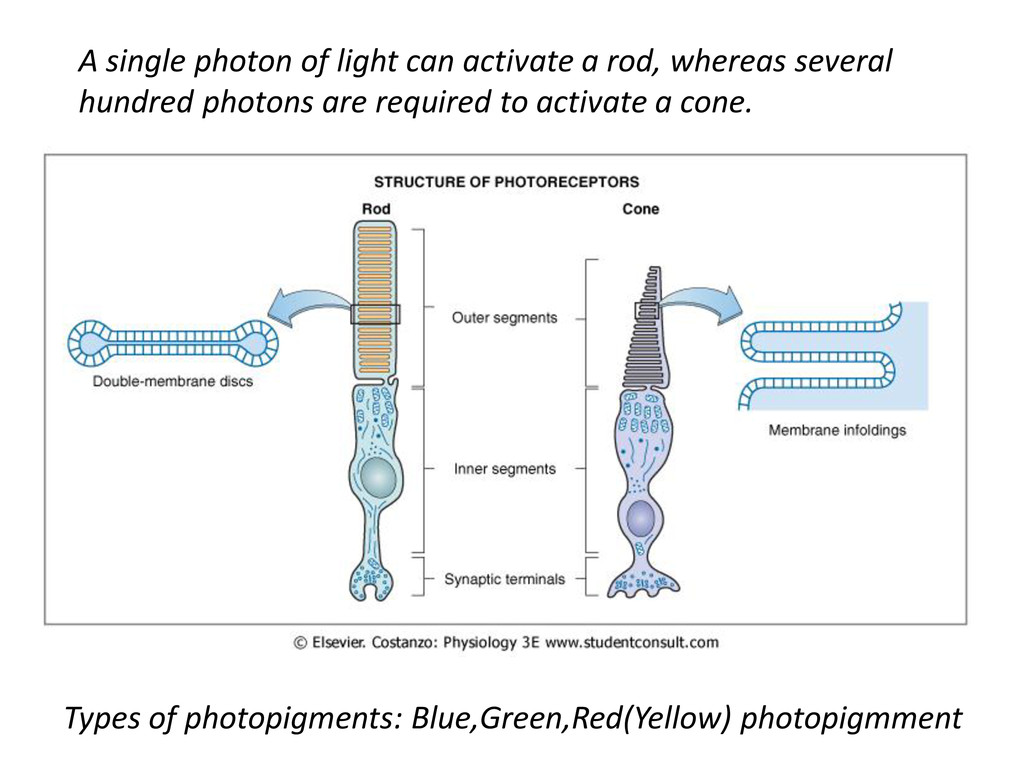 A single photon of light can activate a rod, wh...