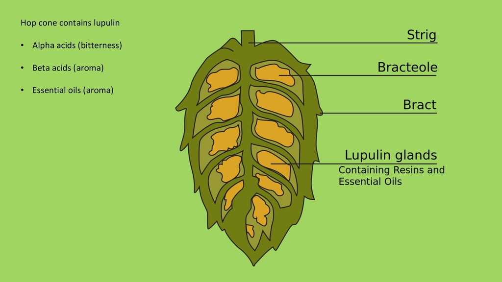 Hop cone contains lupulin • Alpha acids (bitte...