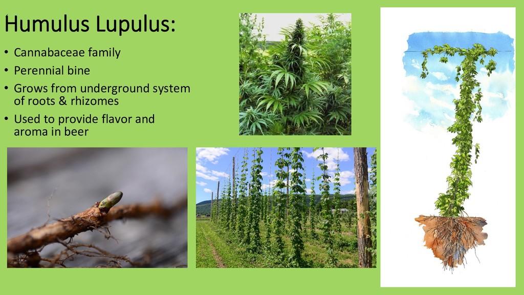 Humulus Lupulus: • Cannabaceae family • Peren...