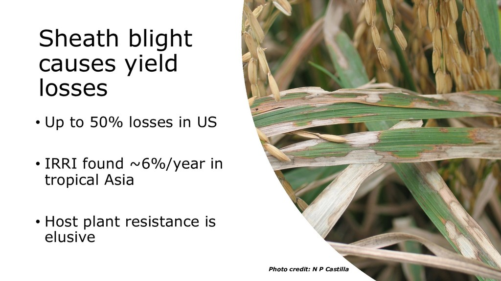 Sheath blight causes yield losses • Up to 50% l...