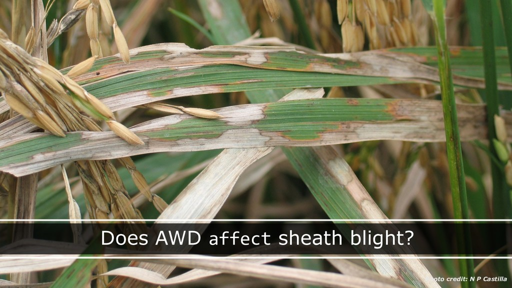 Does AWD affect sheath blight? Photo credit: N ...