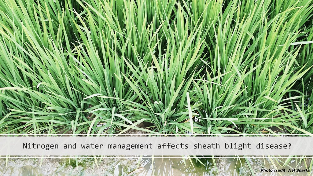 Nitrogen and water management affects sheath bl...