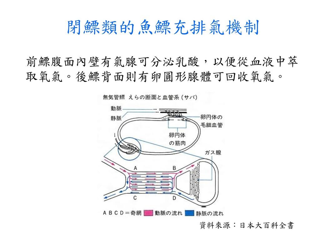 閉鰾類的魚鰾充排氣機制 資料來源:日本大百科全書 前鰾腹面內壁有氣腺可分泌乳酸,以便從血液中萃...