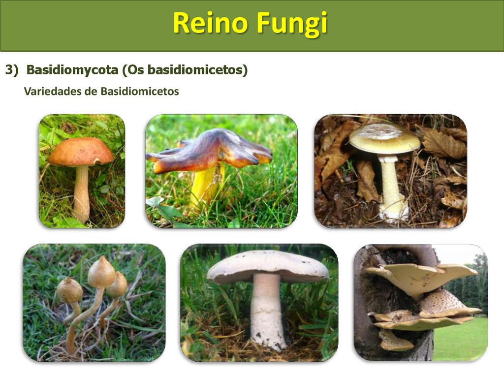 Reino Fungi 3) Basidiomycota (Os basidiomicetos...