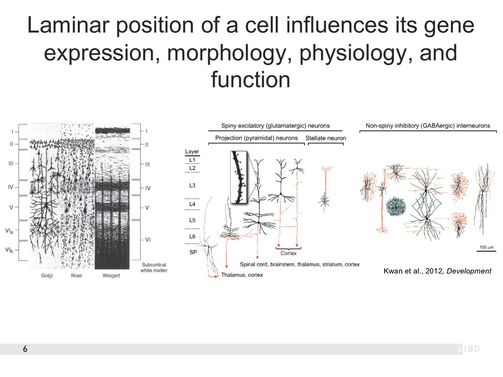 Laminar position of a cell influences its gene ...