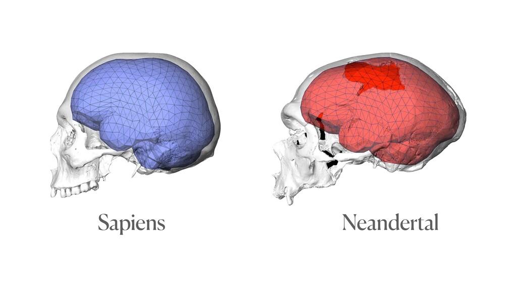 Sapiens Neandertal