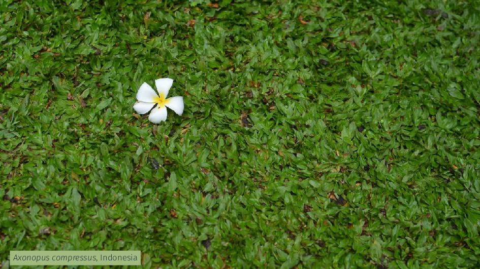 Axonopus compressus, Indonesia