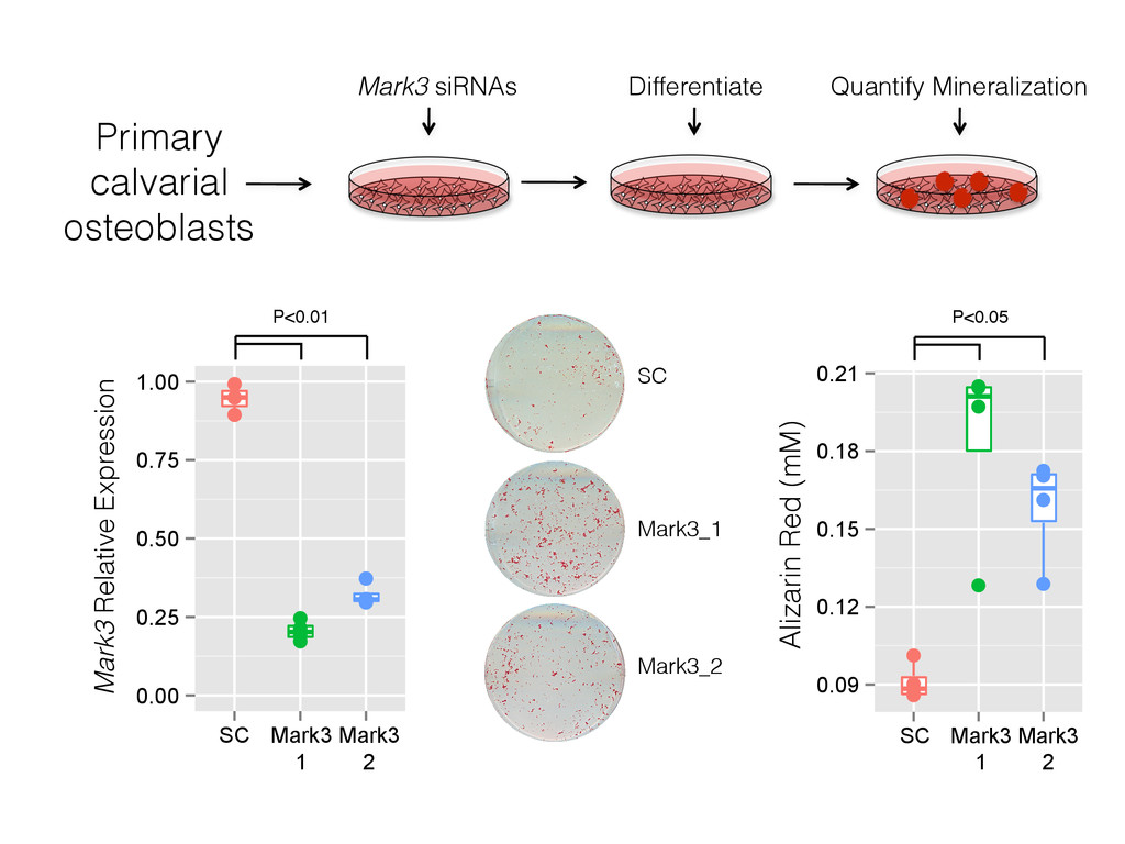 Primary calvarial osteoblasts Mark3 siRNAs Diff...