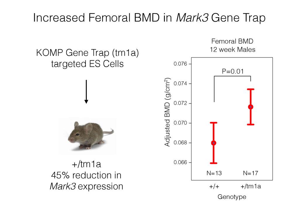 Increased Femoral BMD in Mark3 Gene Trap Femora...