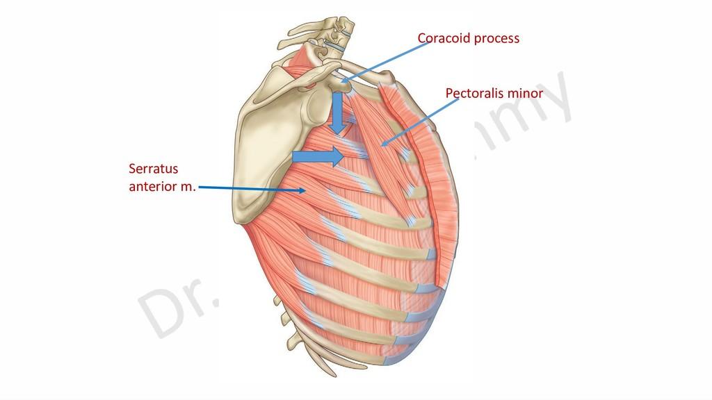 Pectoralis minor Coracoid process Serratus ante...