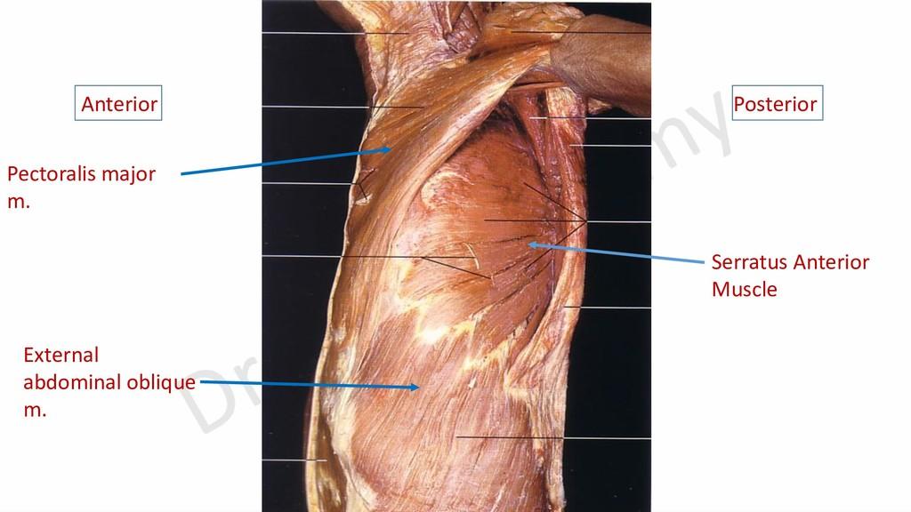 Anterior Posterior Serratus Anterior Muscle Pec...