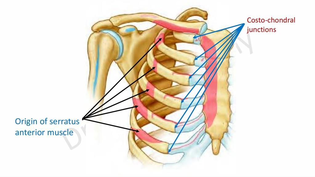 Origin of serratus anterior muscle Costo-chondr...