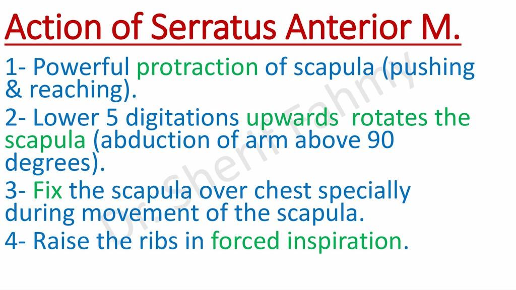 Action of Serratus Anterior M. 1- Powerful prot...
