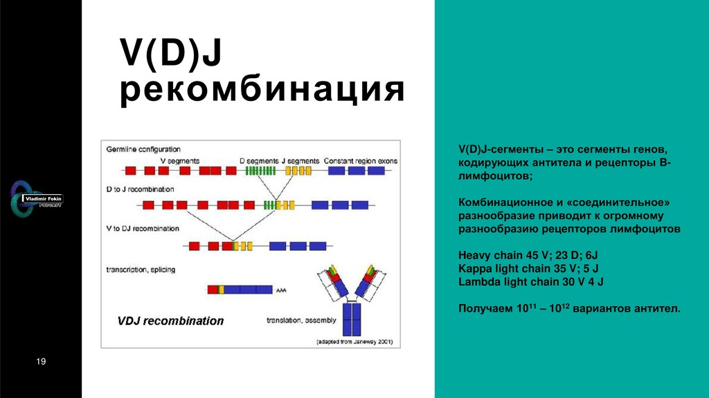 19 V(D)J рекомбинация V(D)J-сегменты – это сегм...