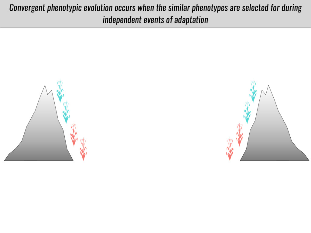 Convergent phenotypic evolution occurs when the...