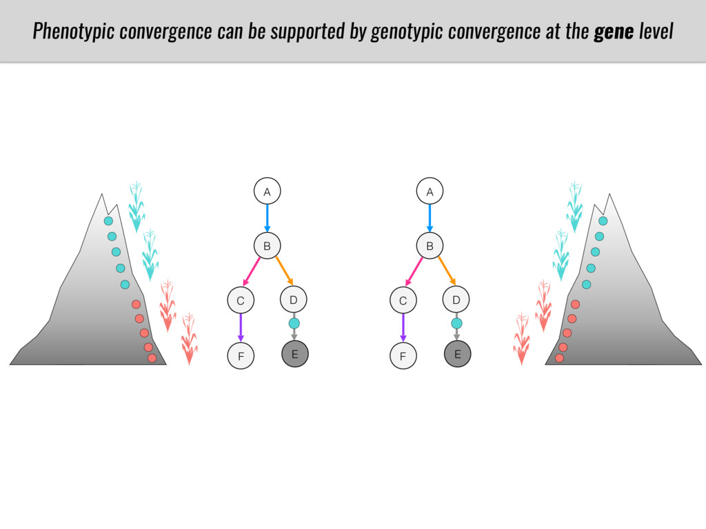 A B C D E F Phenotypic convergence can be suppo...