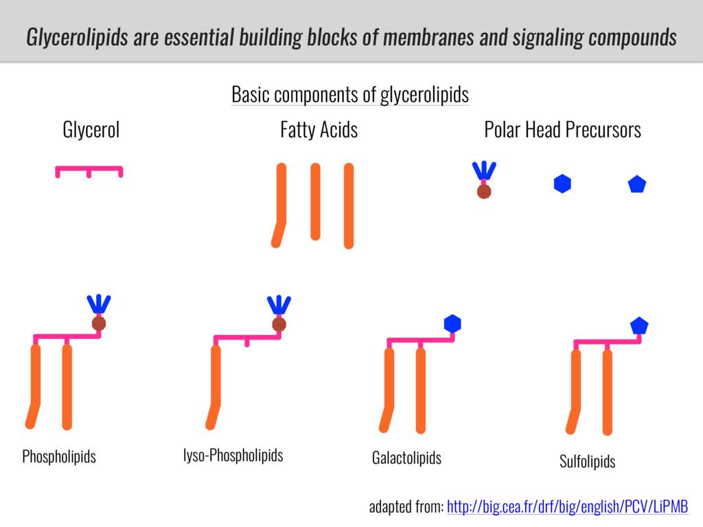 Glycerolipids are essential building blocks of ...