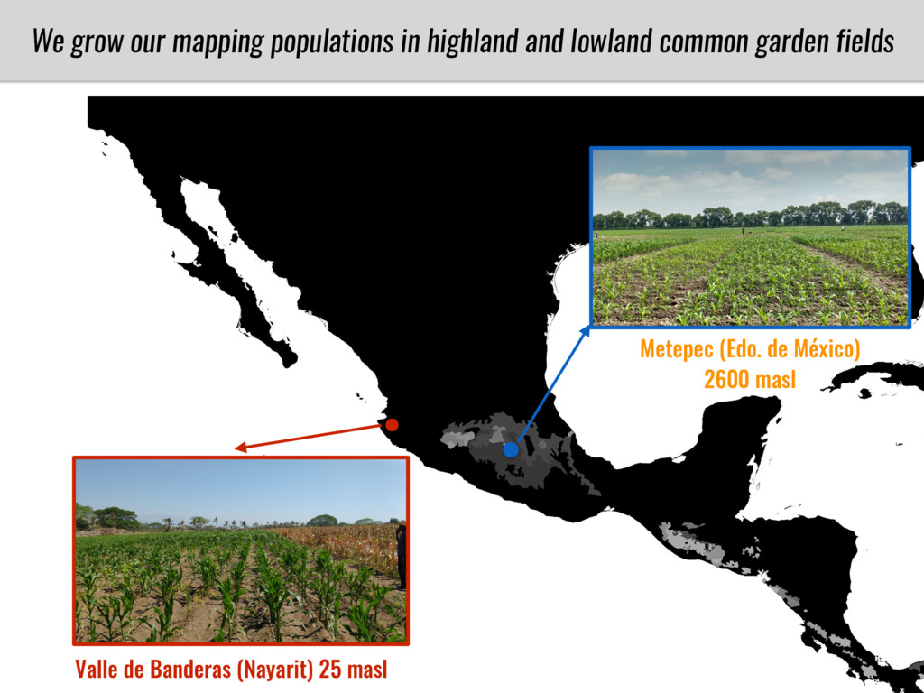 We grow our mapping populations in highland and...