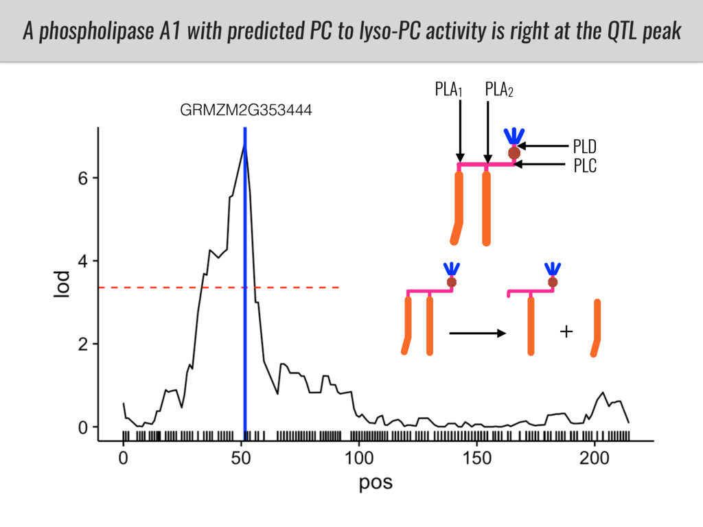 A phospholipase A1 with predicted PC to lyso-PC...