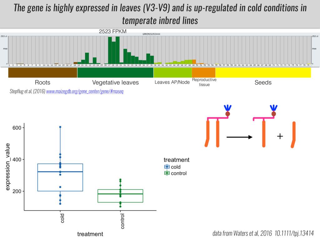 The gene is highly expressed in leaves (V3-V9) ...