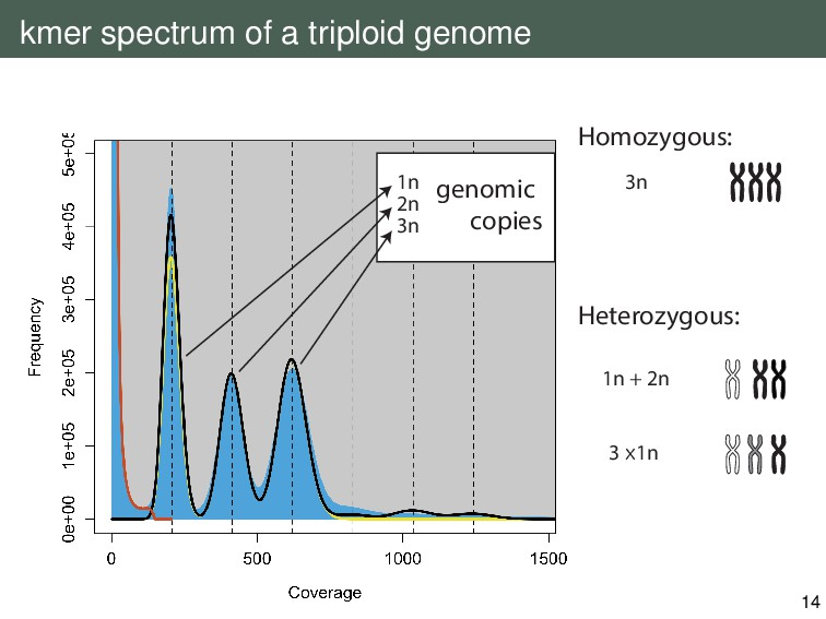 kmer spectrum of a triploid genome Homozygous: ...
