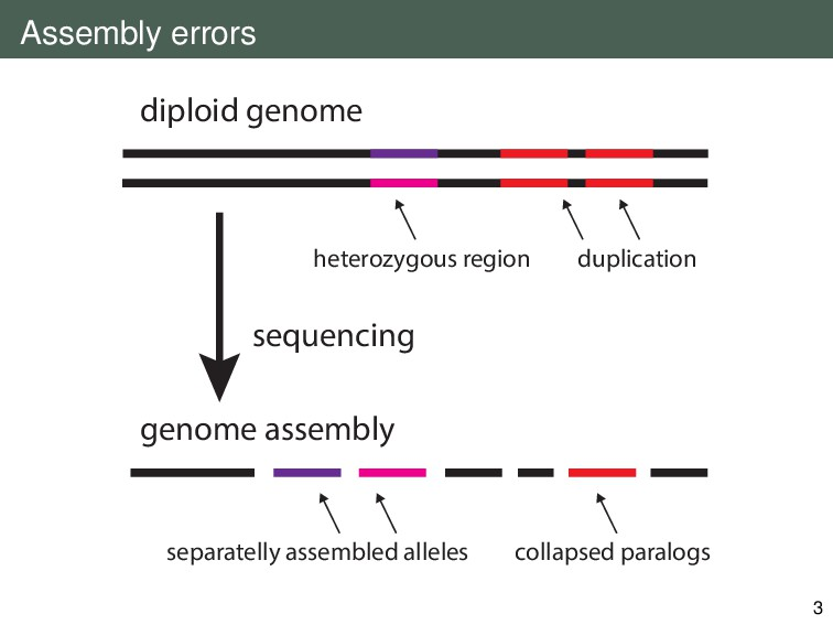 Assembly errors diploid genome duplication hete...