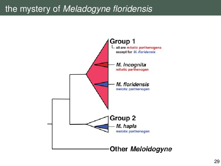the mystery of Meladogyne floridensis 29