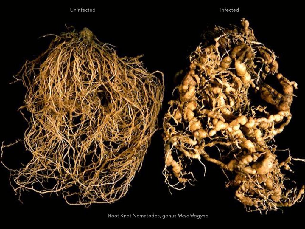 Infected Uninfected Root Knot Nematodes, genus ...