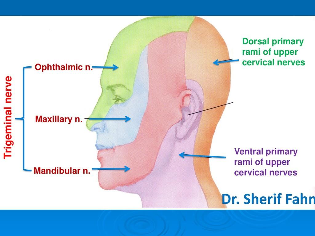Ophthalmic n. Maxillary n. Mandibular n. Ventra...