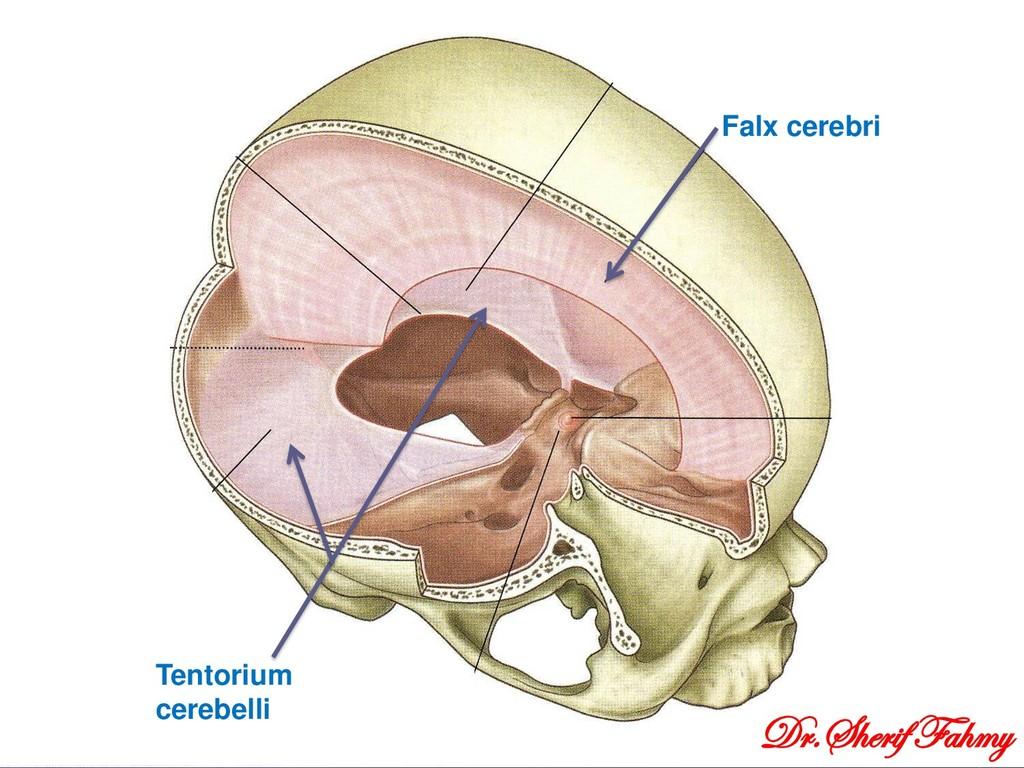 Falx cerebri Tentorium cerebelli Dr.Sherif Fahmy