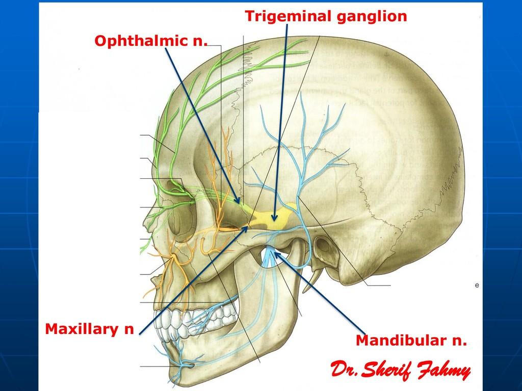 Trigeminal ganglion Ophthalmic n. Maxillary n M...