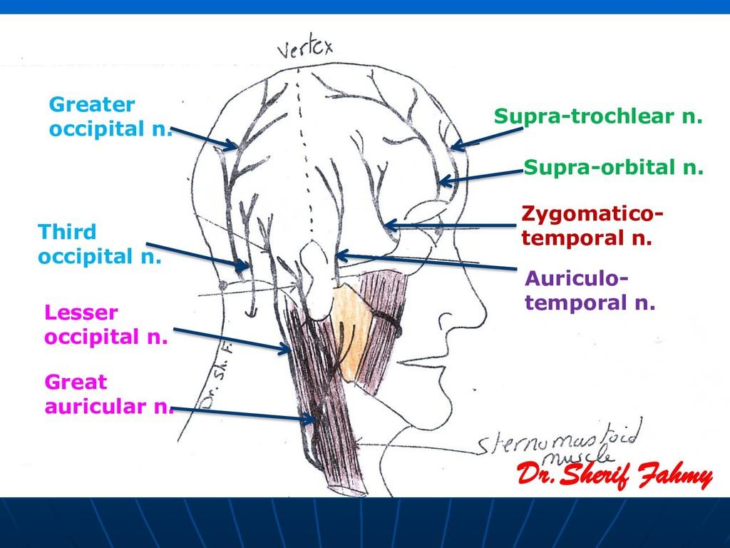 Dr.Sherif Fahmy Supra-trochlear n. Supra-orbita...
