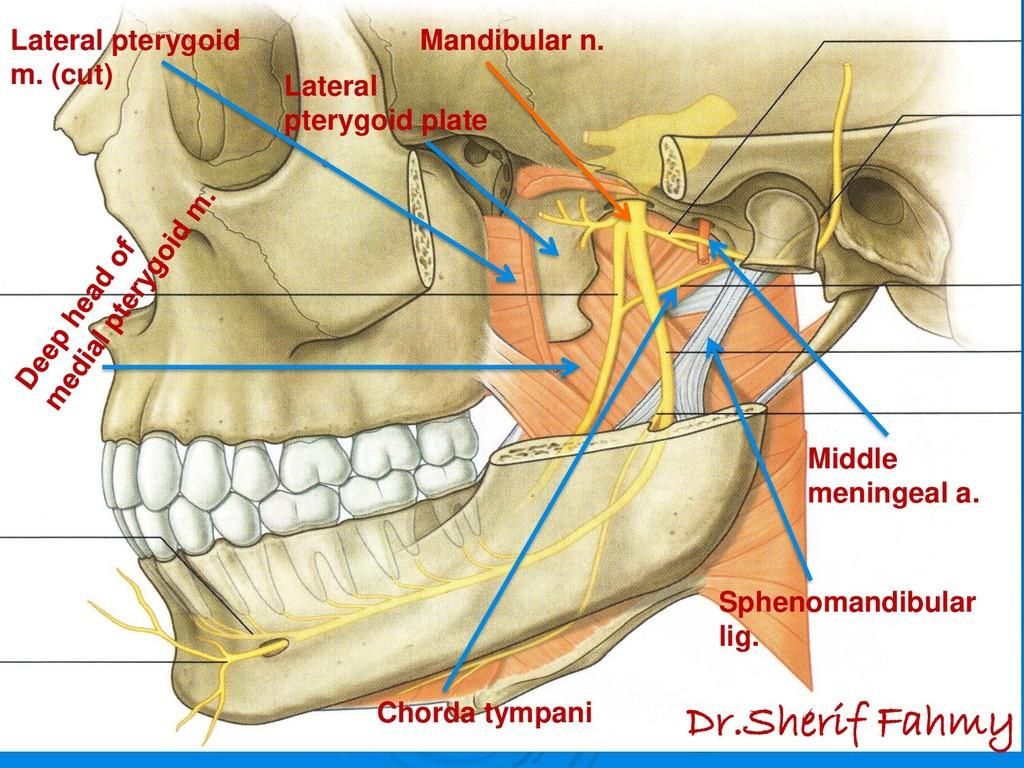 Mandibular n. Middle meningeal a. Sphenomandibu...