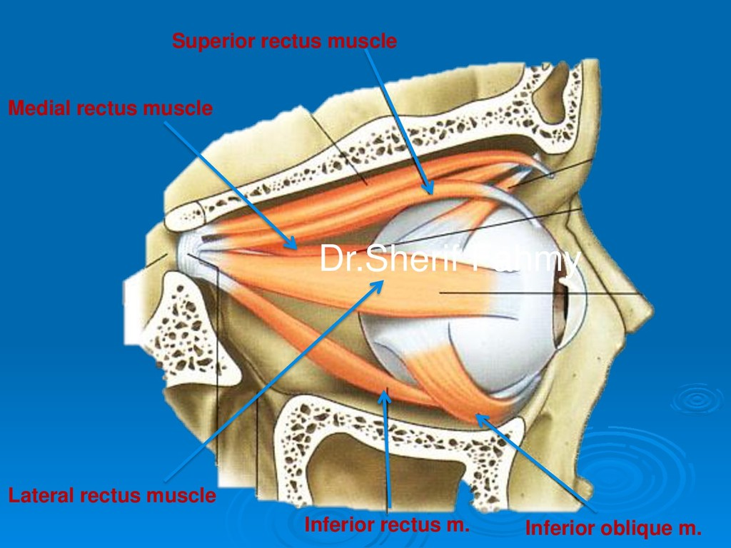 Superior rectus muscle Inferior oblique m. Infe...