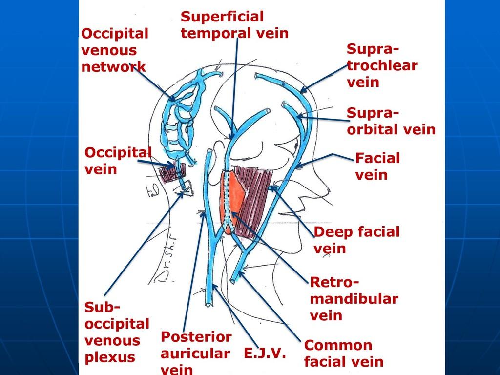 Supra- trochlear vein Supra- orbital vein Facia...