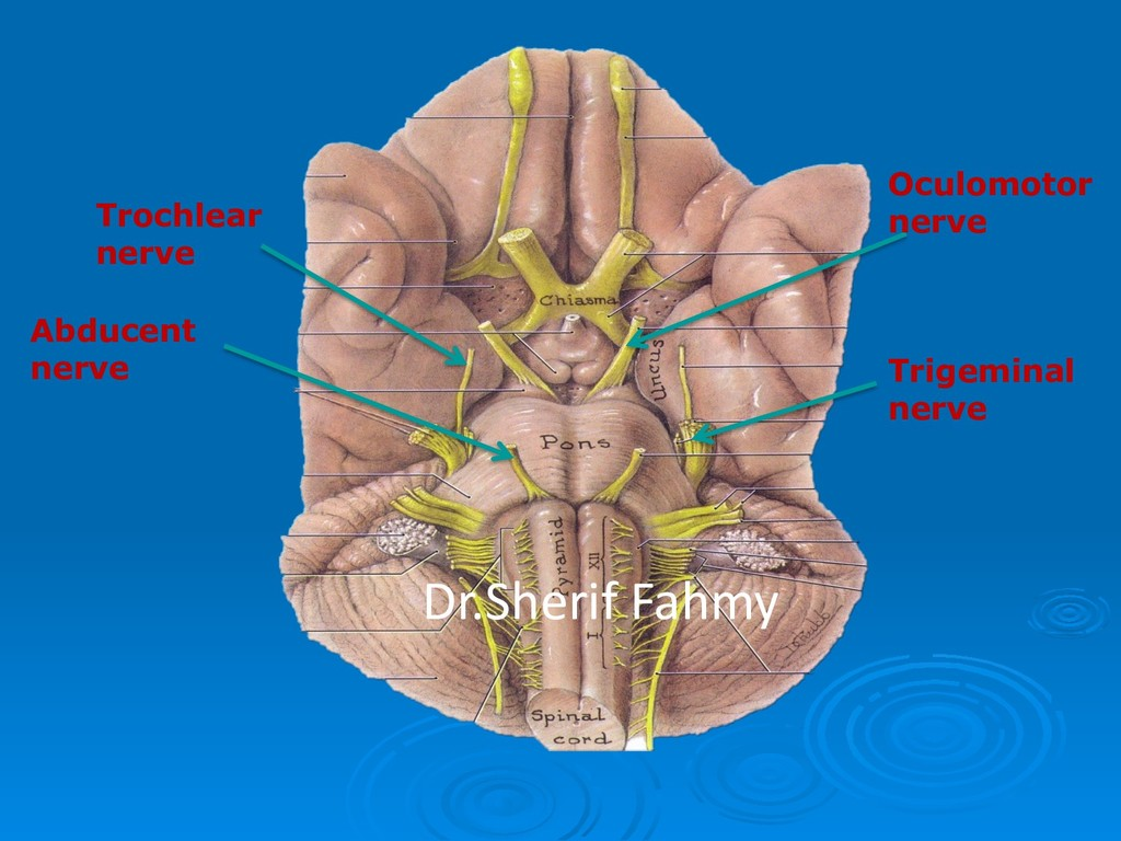 Oculomotor nerve Trochlear nerve Trigeminal ner...