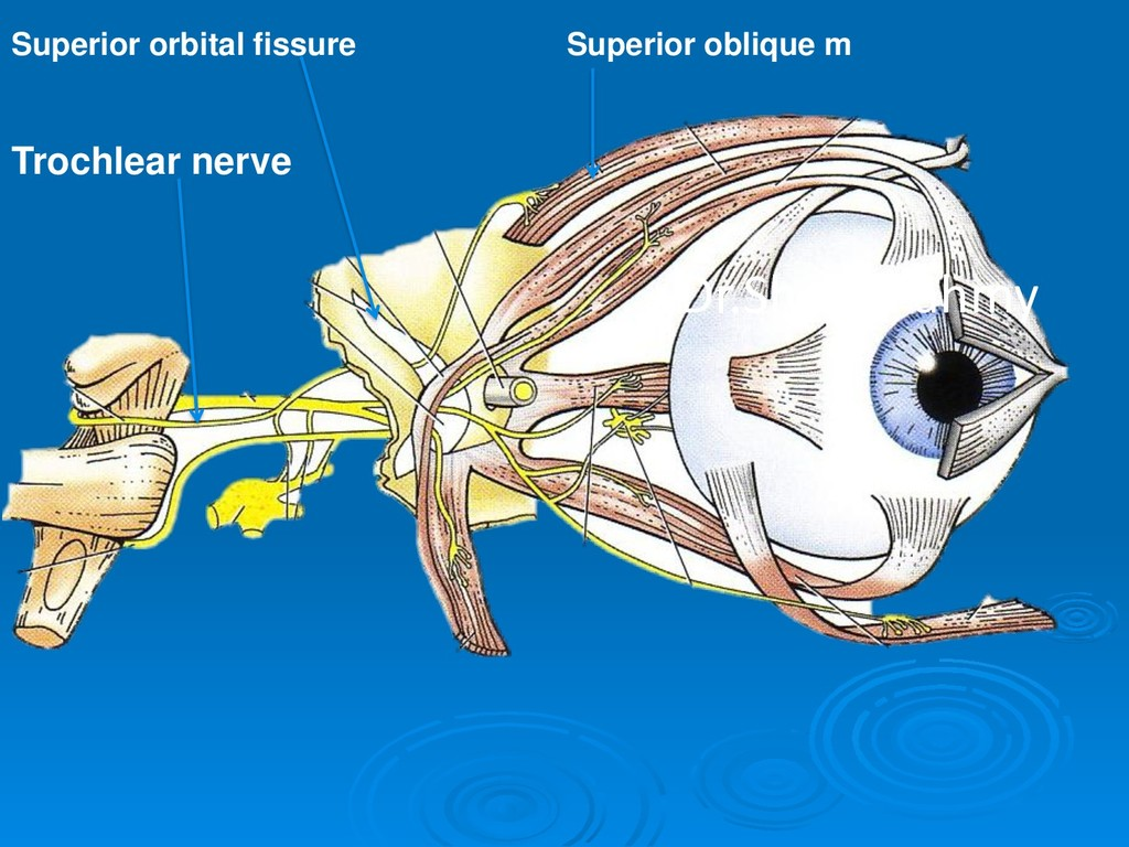 Trochlear nerve Superior orbital fissure Superi...
