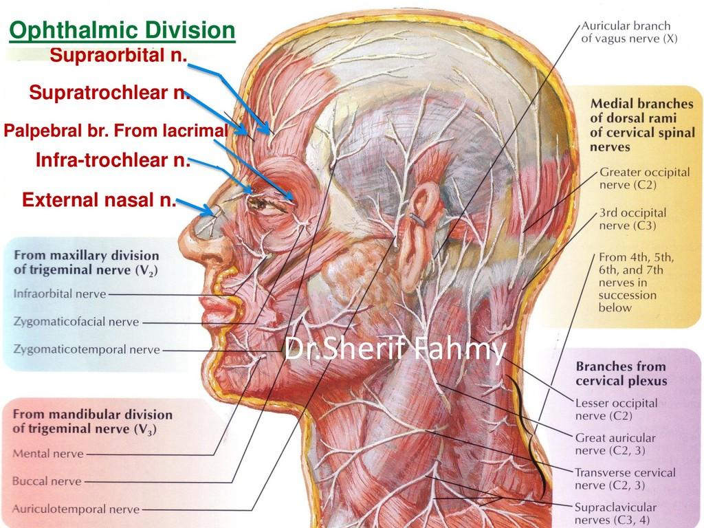 Supraorbital n. Supratrochlear n. Palpebral br....