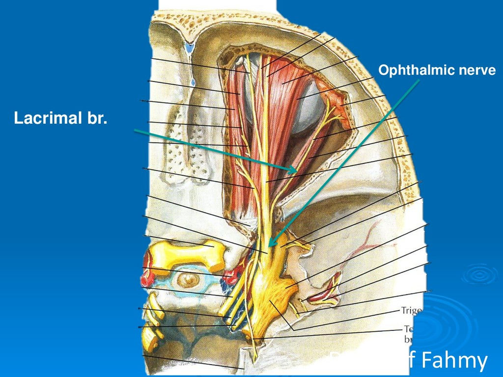Ophthalmic nerve Lacrimal br. Dr.Sherif Fahmy