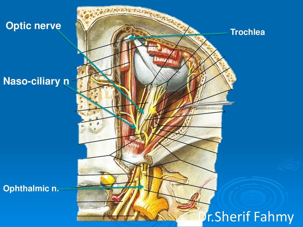 Naso-ciliary n Optic nerve Ophthalmic n. Trochl...