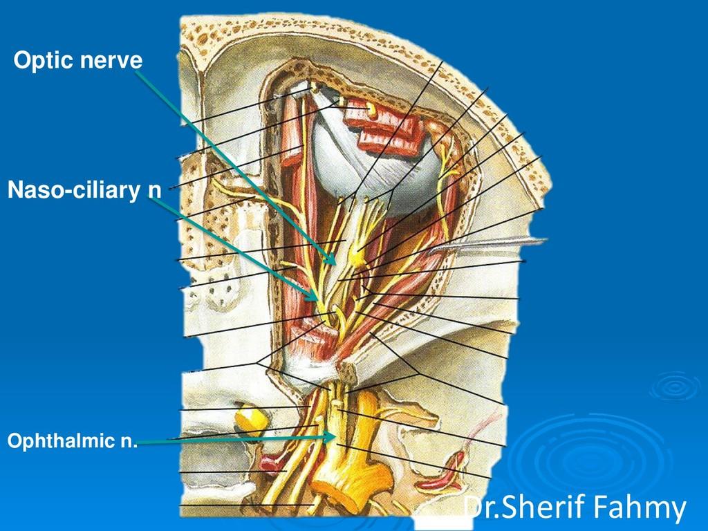 Naso-ciliary n Optic nerve Ophthalmic n. Dr.She...