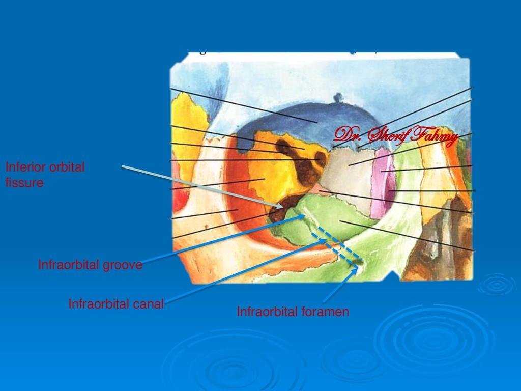 Infraorbital groove Inferior orbital fissure In...